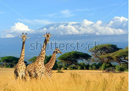 stock photo three giraffe on kilimanjaro mount background in national park of kenya africa 608911916